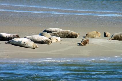 Seehunde-Spotting Breskens